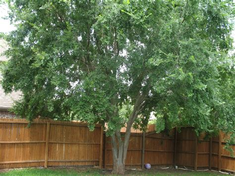 Backyard Apple Tree Guest Blogger Liam The Lace Bark Elm Wading Through Words