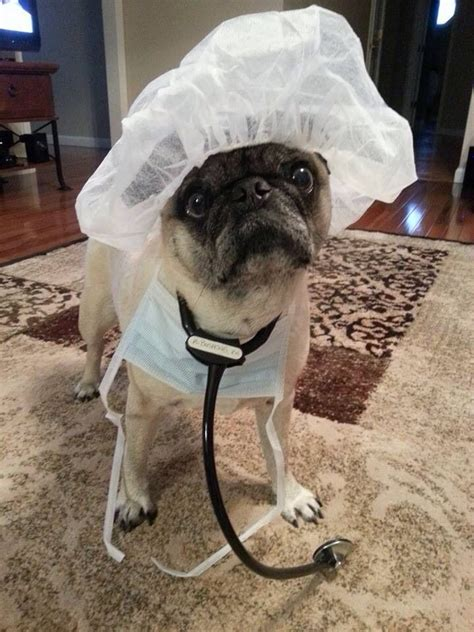 pug doctor 17 best images about operating room on keep calm ponies and blue skies
