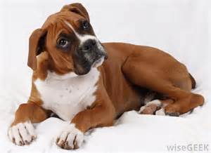 light brown boxer puppies www imgkid the image kid