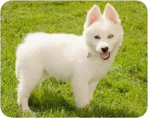 samoyed husky puppies blanca adopted puppy 712 marina ca samoyed husky mix