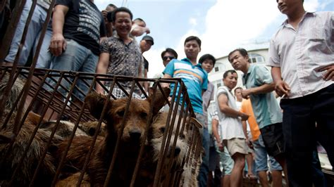 yulin festival in china china s yulin festival reacts reporter