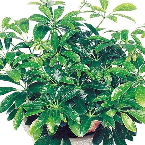 House Plants by Luseane Schefflera Arboricola Umbrella Tree
