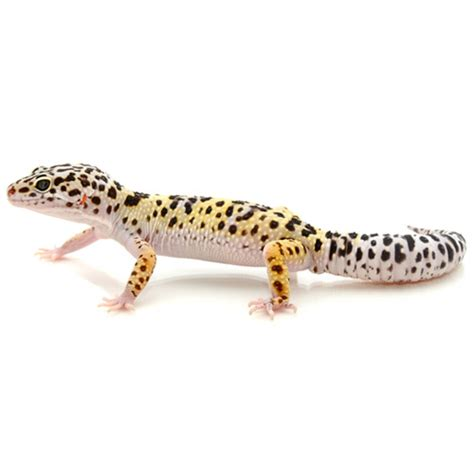 Heat L For Leopard Gecko by Buy Leopard Geckos For Sale With Same Day Shipping