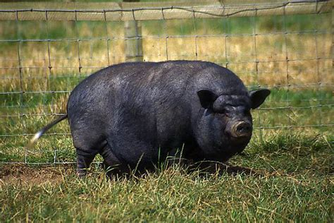 pot bellied pig pictures free use image 01 14 3 by