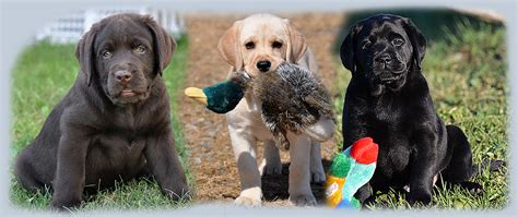 chocolate lab puppies for sale in nj riorock labrador retriever puppies new east coast