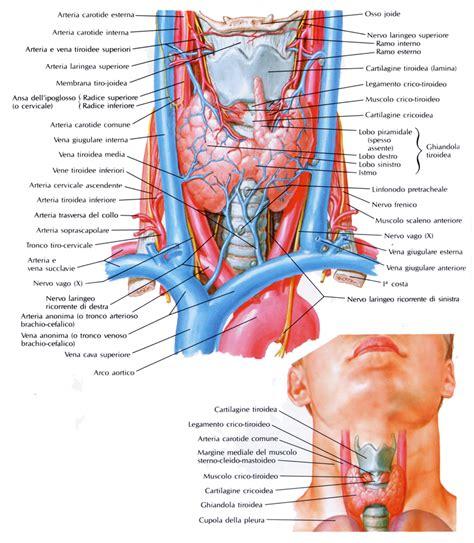 vasi sovraortici la tiroide am a ti onlus