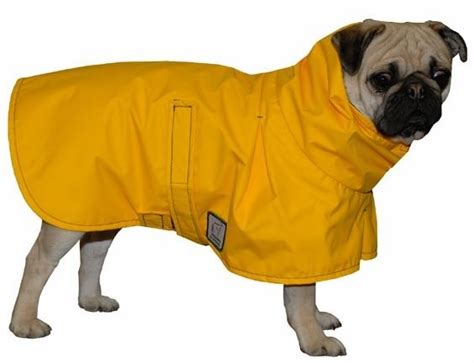 pugs in coats pug coat raincoat slicker coat