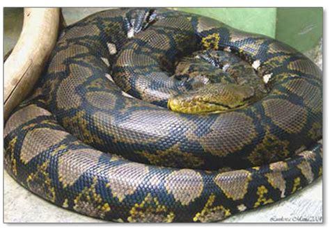 Korek King Yellow Ular Plus Asbak big snakes 101 your guide to the world s snakes