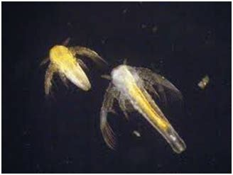 Artemia Untuk Pakan Ikan Dan Udang klasifikasi dan morfologi artemia salina bahan kuliah