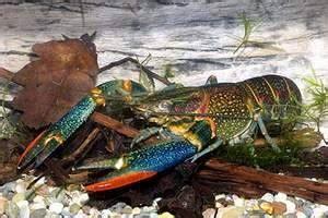 Pembenihan Lobster Air Tawar cara budidaya lobster guntria