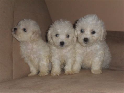 bichon puppies bichon frise puppies 325 posted 8 months ago for sale dogs bichon quotes