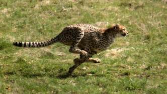 Jaguar Running Speed File Gepardjagt1 Acinonyx Jubatus Jpg Wikimedia Commons
