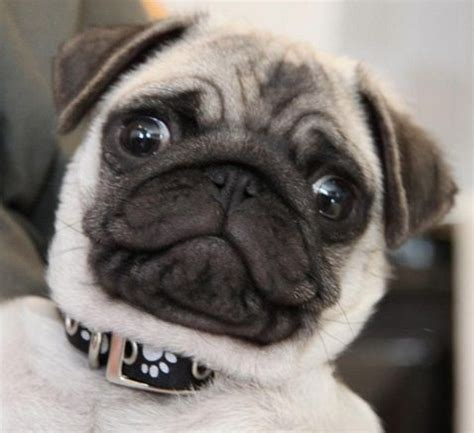 where can i buy pug puppies 6616 best we pugs images on pugs pug