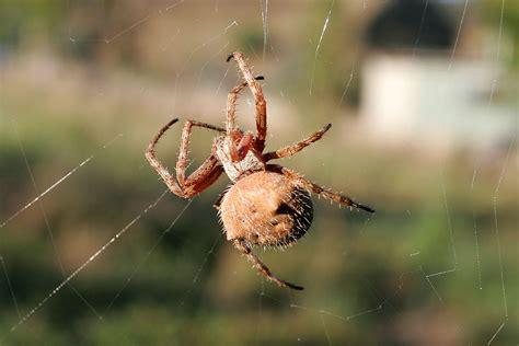Garden Spider Wiki Spider Simple The Free Encyclopedia
