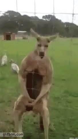 Kangaroo Meme - buff kangaroo memes com