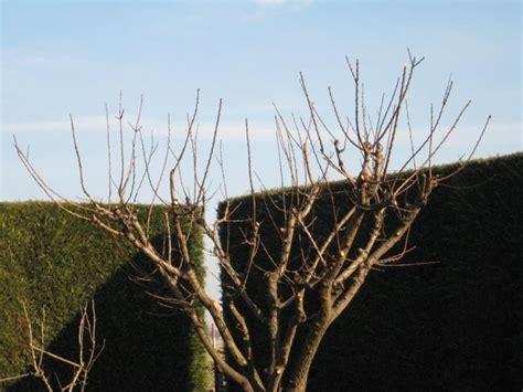 potatura melograno da fiore potatura alberi da frutto potatura come potare alberi