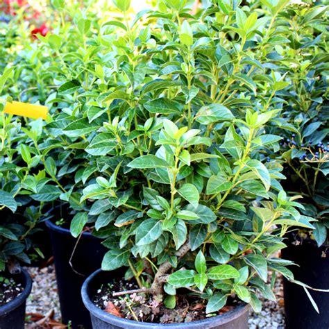 viburnum tinus vaso nuova disponibilit 224 in piante da siepe viburnum tinus