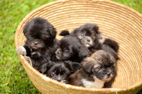 baby puppies for sale shih tzu puppies cradle of baby home