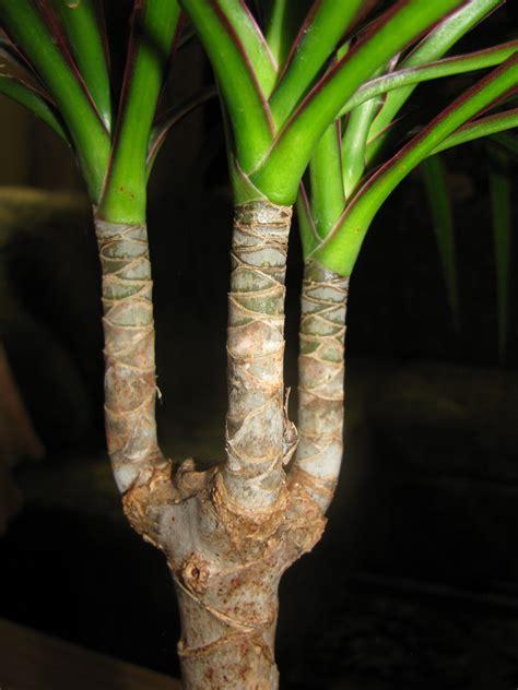 Dracaena Marginata by Dracaena Plant Care Growing Planting Cutting Diseases