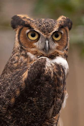 great horned owl raptor conservancy of virginia