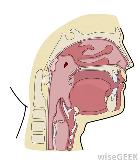 diagram of esophagus diagram of the and esophagus www pixshark