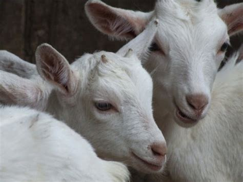 goat milk tattoo removal feedback sought on removal of dairy goat ear tagging