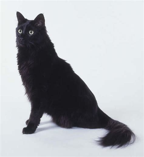 Do Black Cats Shed by Turkish Angora Cat