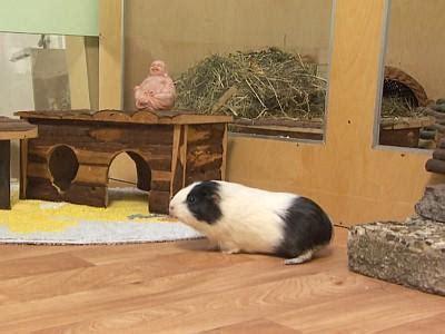 meerschweinchen wohnung meerschweinchen freilauf in der wohnung