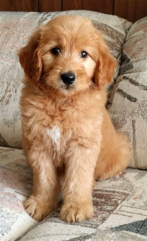 mini doodle san diego goldendoodle san diego home