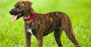 plott hound dogs the plott hound