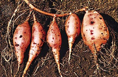 are sweet potatoes a root vegetable sweet potato grows roots in outer space topnews