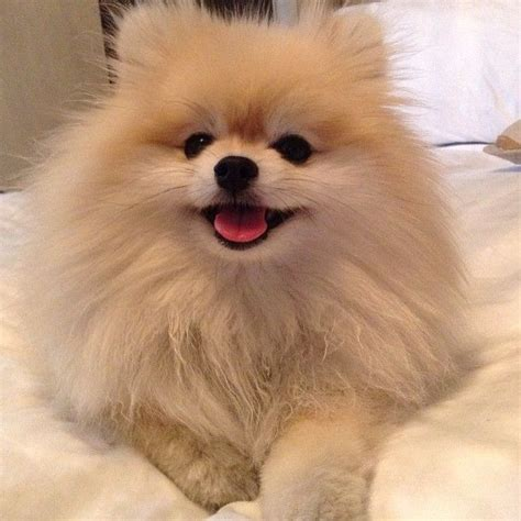 pomeranians heaven 1000 images about pomeranians on it hurts and o rourke