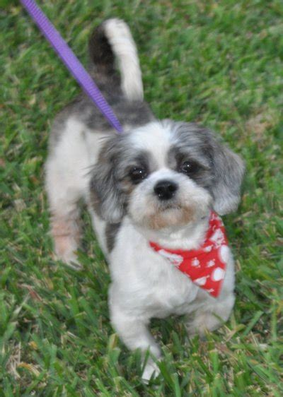 puppy adoption florida shih tzu dogs for sale furbaby rescue shih tzu breeds picture