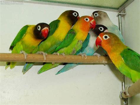 Multi Bird Pakan Burung Parrot budidaya burung burung bird cantik dan romantis