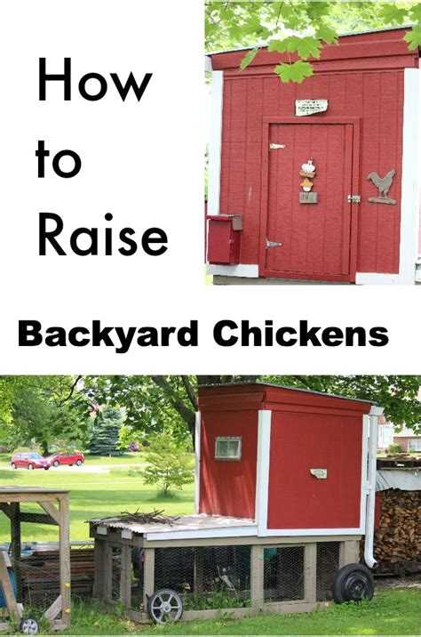 how to raise backyard chickens how to raise backyard chickens chicken raising 101 how to