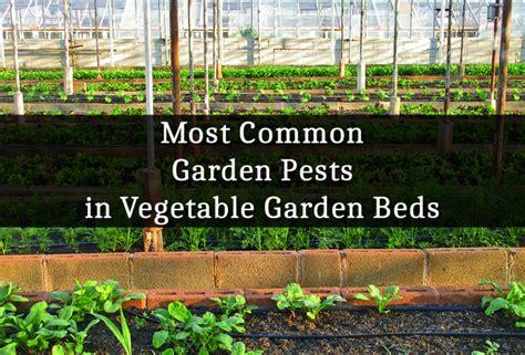 most common garden pests in vegetable garden beds dengarden