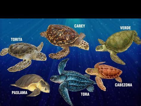 imagenes de libres y tortugas h 225 bitats tortugas marinas