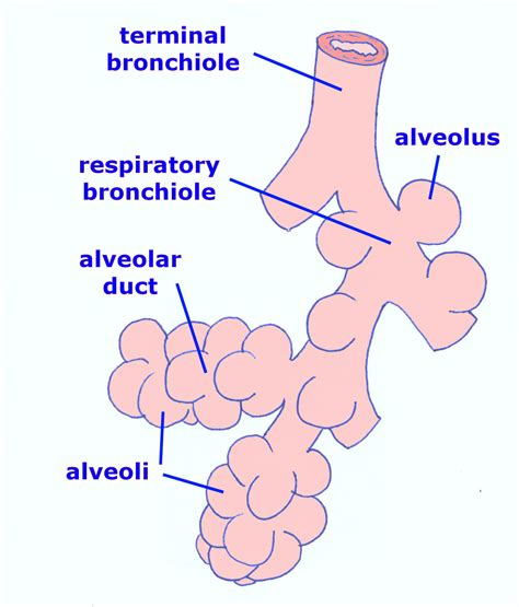 diagram of bronchioles then inhaled air into airways without cartilage