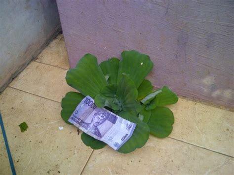 Jual Tanaman Air Apu Apu085776582304 jual tanaman air kapu kapu apu apu kayu apu jumbo tanaman apung di air rizki taman