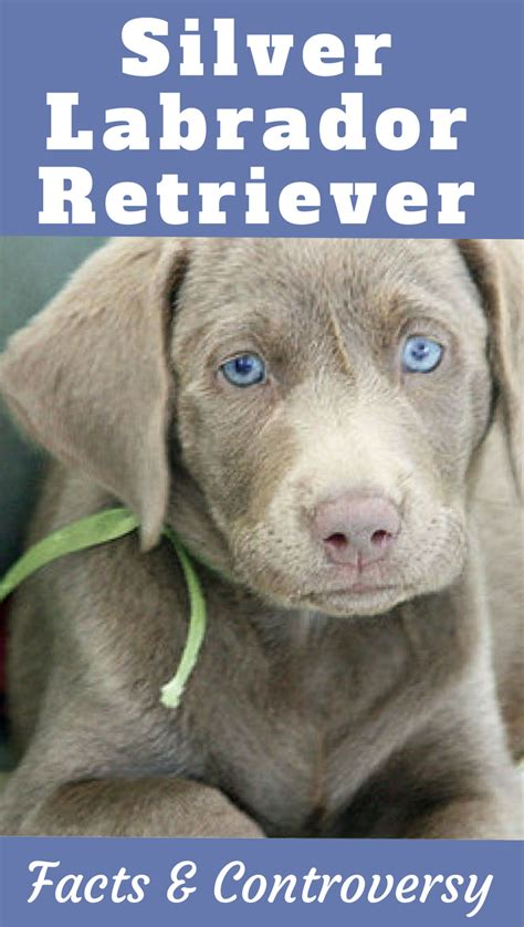 chocolate lab puppies information silver labrador retriever facts and controversy