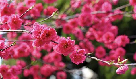 Arbustes Fleurs Rouges by Arbustes 224 Fleurs Rouges 100 Vari 233 T 233 S Vendues En Ligne