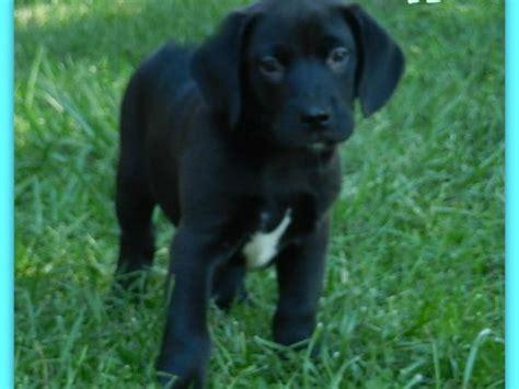 puppies at petco puppy adoption event 10 3 at petco wheaton danada patch