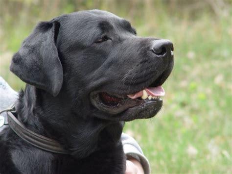 Labrador em Fortaleza   Baby Dog Pet Shop & Veterinária