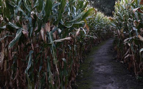 corn maze haunted house the country s creepiest haunted corn mazes for halloween