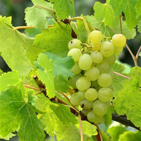 Grow Your Own Grape Vines by Grow Your Own White Wine Grape Vine By Plants From Seed