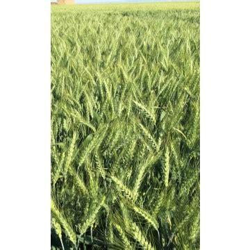 trigo estero semilla trigo estero blando de primavera semillas