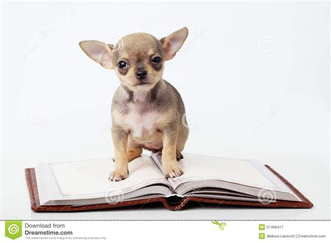 cutest puppies book puppy chihuahua reading book stock photo image 57499417