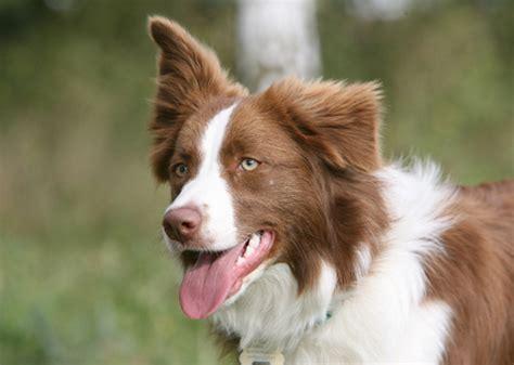 top 5 smartest dogs top 5 smartest breeds gallery ebaum s world