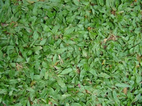 pilih  rumput sintetis  rumput mutiara seleraid