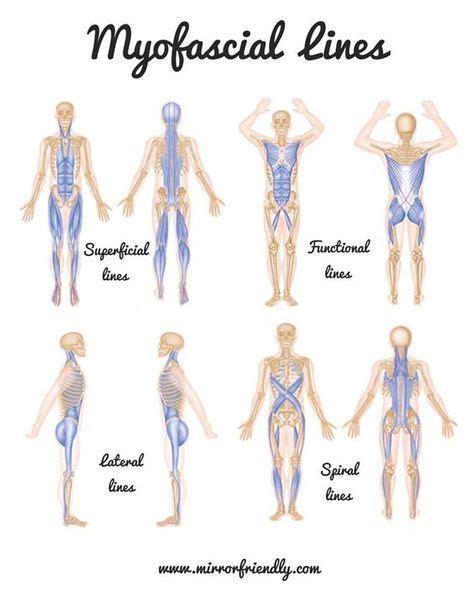 cadenas musculares thomas myers pdf 9 best anatomy trains images on pinterest human anatomy